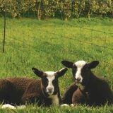 Sheep net green